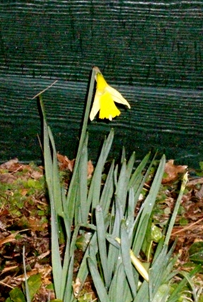 The Daffodils Are Comin'!
