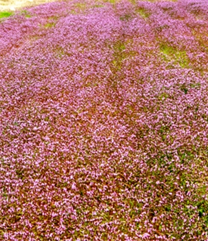 A Field of tiny blossoms
