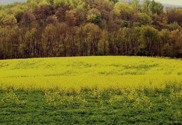 mustard-field-1