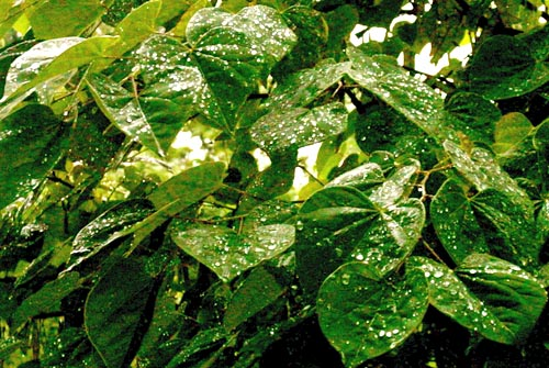 rain-leaf-02