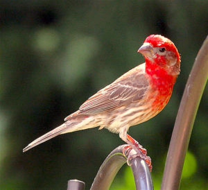 sparrow-purple