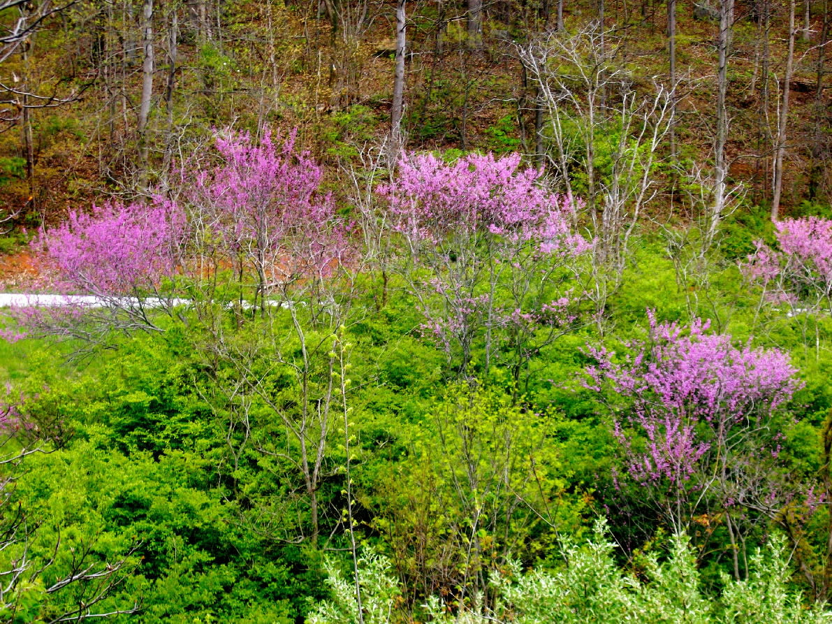 Redbud in trees