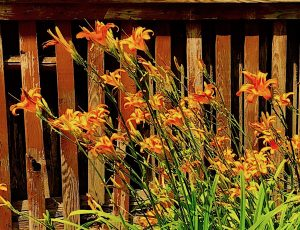 """Ditch lilies."" Unlovely to me."
